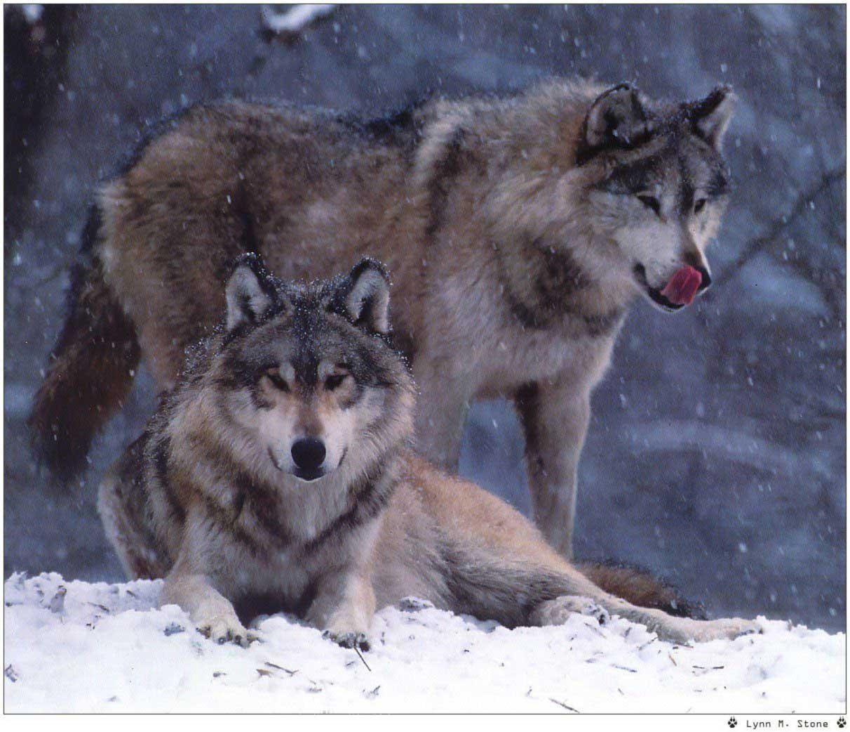 Portée de loups à Kergano